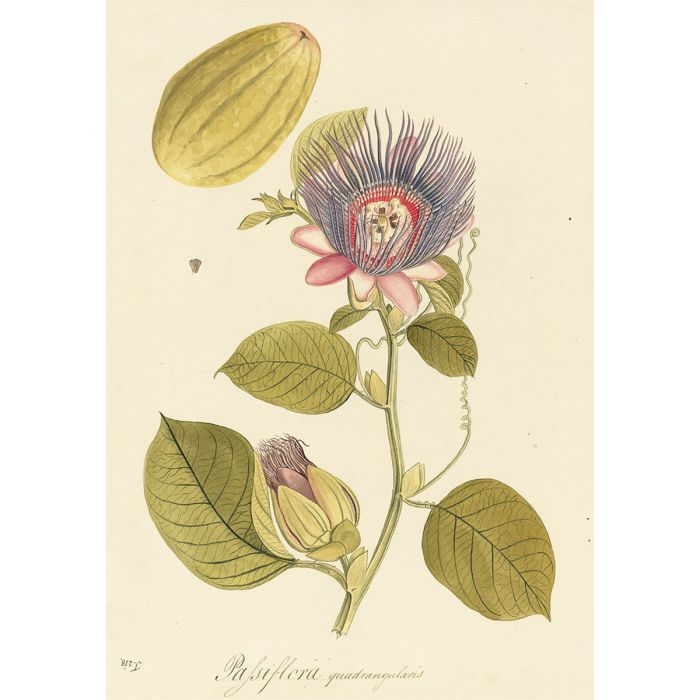 Plate 218 Passiflora quadrangularis, the square-stemmed passion flower, one of three prints presented for framing