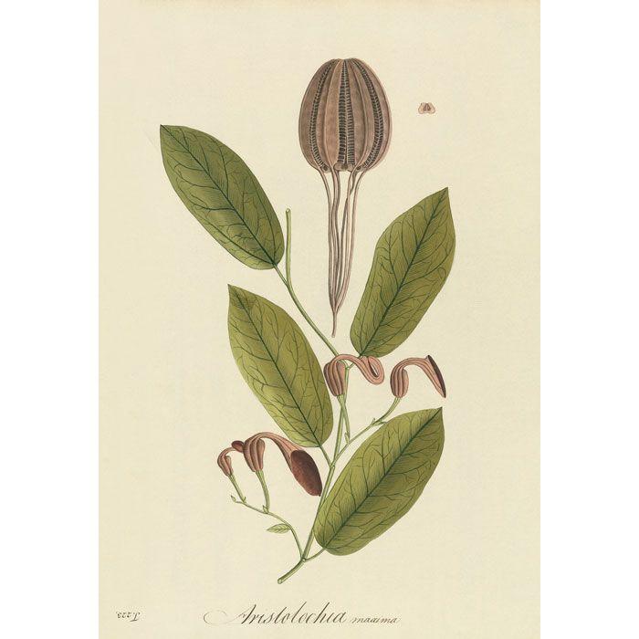 Plate 223 Aristolochia maxima
