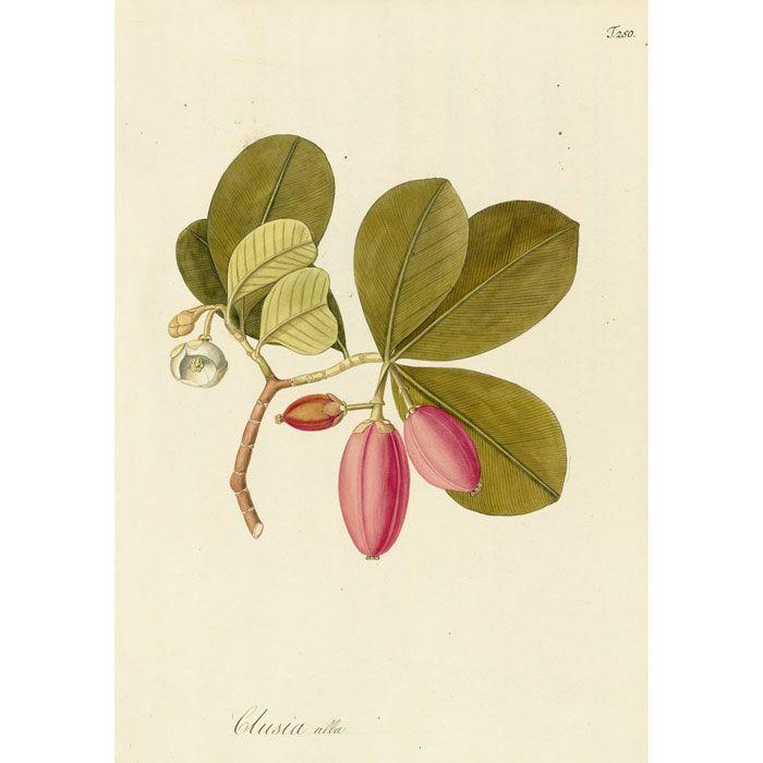 Plate 250 Clusia alba