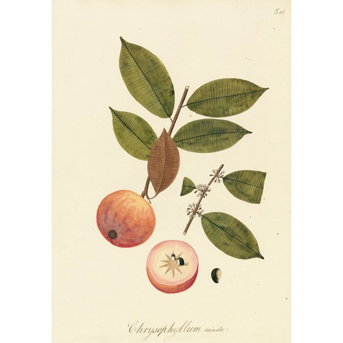 Plate 51 Chrysophyllum cainito, the star apple, one of three prints presented for framing
